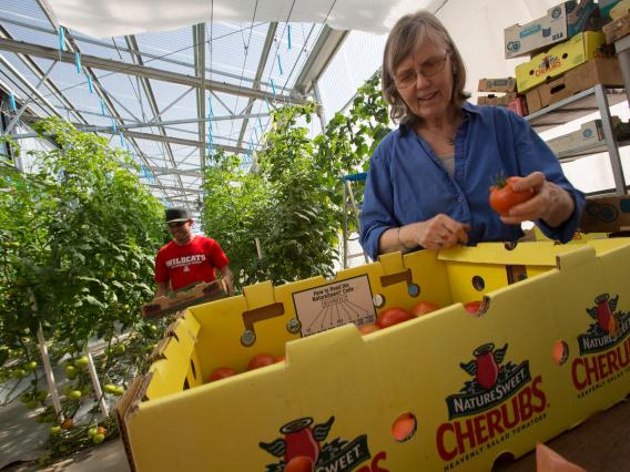 Student and professor harvesting tomatoes from campus greenhouse
