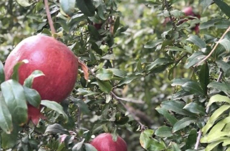 Close-up photo of pomegranates on a tree